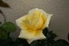 Rosa 1 Posted on 28th Apr,2007  02:19:26 AM Average Rating=3.00